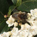 Abeille récoltant du nectar