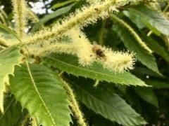 Le pollen de châtaignier nouveau est arrivé