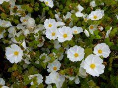 Le pollen de ciste est de retour