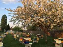 Ruches sous le cerisier en fleurs