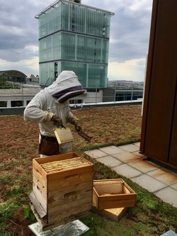 Miel de Paris, récolte du miel de Sophora