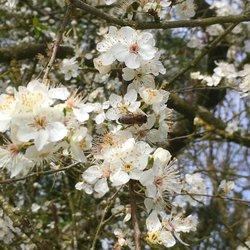 Abeille sur fleur de Prunelier