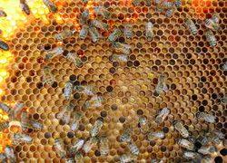 Vous pouvez distinguer différentes couleurs de pollen dans les alvéoles.