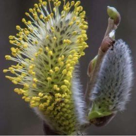 Le pollen de saule 2021 est disponible