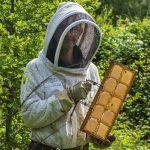 Récolte du miel en rayon