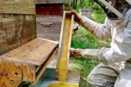 Récolte de la récolte de pollen frais de châtaignier