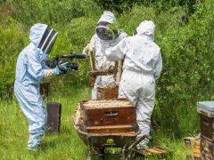 La récolte du miel diffusé au JT de M6 télévision