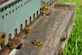 entrée de pollen dans la ruche