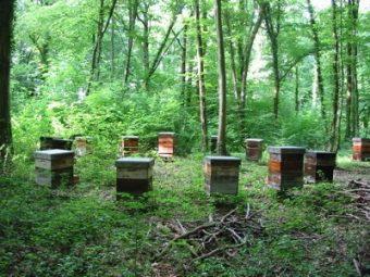 Ruches disposées en cercle. Les abeilles sont au calme dans cette forêt.