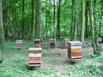 Les Tilleuls sont en fleurs, çà récolte du miel.