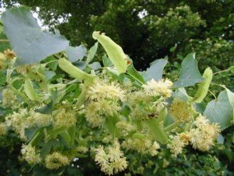 Les superbes fleurs des Tilleuls à petite feuille.