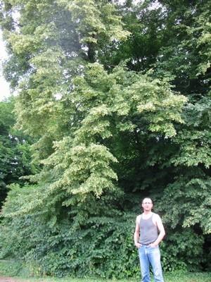 On ne peut que deviner l'immensité de ces beaux arbres.