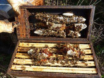 J'ai placé 21 ruchettes sur les champs de sarrasin afin de les renforcer pour l'hiver. Les colonies en ont profité pour récolter du miel et construire dans le toit de la ruche... On peut constater que le miel de sarrasin est très foncé.
