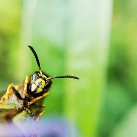 Les guêpes produisent elles du miel ?