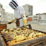 récolte de miel à paris