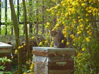 Otto à son poste d'observation sur sa ruche préférée. Avril 2010.