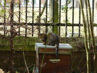 Otto, le chat de Jeanne et Arnaud, les voisins. La ruche est un très bon poste d'observation...