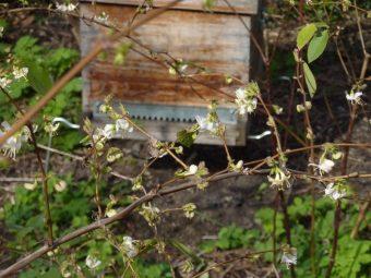 En ce début mars 2010, un chèvrefeuille d'hiver est déjà fleuri. Photo prise sur mon 2e rucher du 20e.