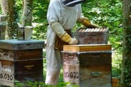 Récolte de miel de tilleul
