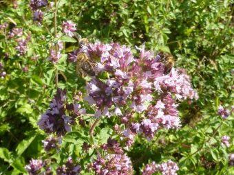 Cette année de nombreuses fleurs d'origan vulgaire ont poussé le long des ruches. Les abeilles semblent beaucoup apprécier.