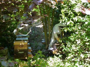 Les ruches sont sous des érables et des noisetiers.