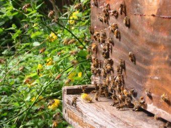 Sur la droite de la photo, proche de l'entrée de la ruche, vous pouvez voir une ouvrière avec d'énormes pelotes de pollen.
