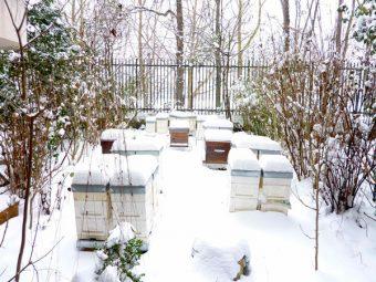 Toutes les ruchettes blanches sont des ruches d'élevage qui contiennent chacune une jeune reine. 2O janvier 2013.