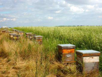 Les ruches entre deux champs de sarrasin.
