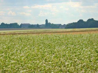 Le champs de sarrasin a un aspect neigeux, unique à cette période de l'année où il reste peu de fleurs.