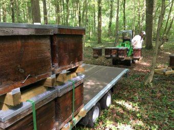 Transhumance de ruchettes en forêt de Chantilly pour la récolte du miel de Tilleul. Juin 2016
